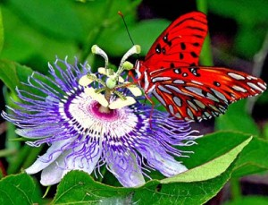 """How Did The Passion Flower Get Its Name?"""