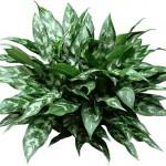 """""""Chinese Evergreen"""""""