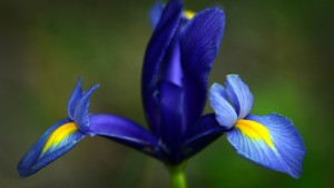"""History and Meaning of Iris"""